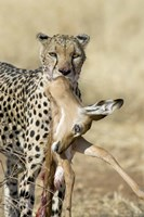 Close-up of a cheetah carrying its kill Fine Art Print