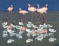 """Avocets and flamingos standing in water, Ngorongoro Crater, Ngorongoro Conservation Area, Tanzania by Panoramic Images - 16"""" x 13"""", FulcrumGallery.com brand"""