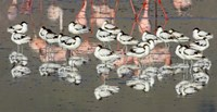 """Reflection of avocets and flamingos in water, Ngorongoro Crater, Ngorongoro Conservation Area, Tanzania by Panoramic Images - 16"""" x 8"""""""