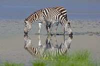 """Two zebras drinking water from a lake, Ngorongoro Conservation Area, Arusha Region, Tanzania (Equus burchelli chapmani) by Panoramic Images - 16"""" x 11"""""""