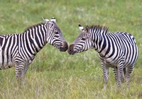 """Side profile of two zebras touching their snouts, Ngorongoro Crater, Ngorongoro Conservation Area, Tanzania by Panoramic Images - 16"""" x 11"""""""