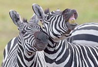 "Close-up of two zebras, Ngorongoro Crater, Ngorongoro Conservation Area, Tanzania by Panoramic Images - 16"" x 11"""