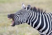 "Close-up of a zebra braying, Ngorongoro Crater, Ngorongoro Conservation Area Tanzania by Panoramic Images - 16"" x 11"", FulcrumGallery.com brand"