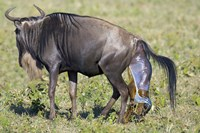 """Side profile of a wildebeest giving birth to its calf, Ngorongoro Crater, Ngorongoro Conservation Area, Tanzania by Panoramic Images - 16"""" x 11"""""""