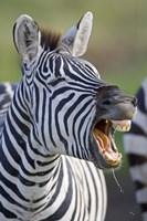 "Close-up of a zebra calling, Ngorongoro Crater, Ngorongoro Conservation Area, Tanzania by Panoramic Images - 16"" x 24"""