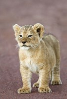 "Close-up of a lion cub standing, Ngorongoro Crater, Ngorongoro Conservation Area, Tanzania (Panthera leo) by Panoramic Images - 16"" x 24"""