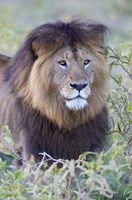 "Close-up of a Black maned lion, Ngorongoro Crater, Ngorongoro Conservation Area, Tanzania by Panoramic Images - 16"" x 24"""