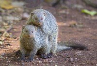 "Two mongoose mating, Lake Manyara National Park, Tanzania by Panoramic Images - 16"" x 11"""