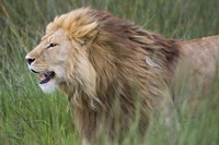 "Side profile of a lion in a forest, Ngorongoro Conservation Area, Tanzania (panthera leo) by Panoramic Images - 16"" x 11"""