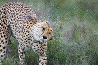"Cheetah shaking off water from its body, Ngorongoro Conservation Area, Tanzania (Acinonyx jubatus) by Panoramic Images - 16"" x 11"""