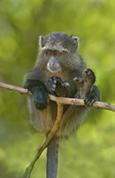 "Blue monkey, Lake Manyara, Arusha Region, Tanzania by Panoramic Images - 16"" x 24"""