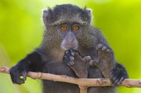 "Close-up of a Blue monkey sitting on a branch, Lake Manyara, Arusha Region, Tanzania (Cercopithecus mitis) by Panoramic Images - 16"" x 11"""