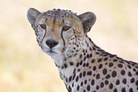 "Close-up of a cheetah, Ngorongoro Conservation Area, Arusha Region, Tanzania (Acinonyx jubatus) by Panoramic Images - 16"" x 11"""
