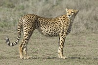 "Side profile of a cheetah, Ngorongoro Conservation Area, Arusha Region, Tanzania (Acinonyx jubatus) by Panoramic Images - 16"" x 11"""