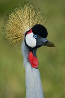 "Close-up of a Grey Crowned crane, Ngorongoro Conservation Area, Arusha Region, Tanzania (Balearica regulorum) by Panoramic Images - 16"" x 24"""