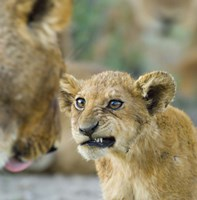 "Close-up of a lion cub, Ngorongoro Conservation Area, Arusha Region, Tanzania (Panthera leo) by Panoramic Images - 24"" x 24"""
