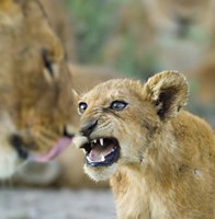 "Lion Cub and Mother, Ngorongoro Conservation Area, Arusha Region, Tanzania (Panthera leo) by Panoramic Images - 24"" x 24"""