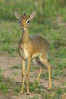 "Kirk's dik-dik, Tarangire National Park, Arusha Region, Tanzania by Panoramic Images - 16"" x 24"""
