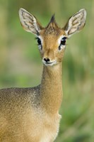 "Close-up of a Kirk's dik-dik, Tarangire National Park, Arusha Region, Tanzania (Madoqua kirkii) by Panoramic Images - 16"" x 24"""