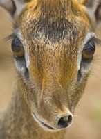 "Head of a Kirk's dik-dik, Tarangire National Park, Tanzania by Panoramic Images - 18"" x 24"""