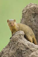 "Side profile of a Dwarf mongoose, Tarangire National Park, Arusha Region, Tanzania (Helogale parvula) by Panoramic Images - 16"" x 24"""
