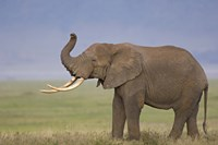 "Side profile of an African elephant standing in a field, Ngorongoro Crater, Arusha Region, Tanzania (Loxodonta africana) by Panoramic Images - 16"" x 11"""