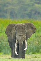 "Close-up of an African elephant in a field, Ngorongoro Crater, Arusha Region, Tanzania (Loxodonta Africana) by Panoramic Images - 16"" x 24"""
