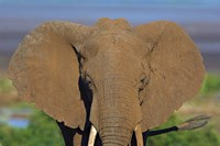 "Close-up of an African elephant, Lake Manyara, Arusha Region, Tanzania (Loxodonta Africana) by Panoramic Images - 16"" x 11"""