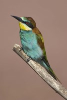 "Close-up of an European bee-eater perching on a branch, Lake Manyara, Arusha Region, Tanzania (Merops apiaster) by Panoramic Images - 16"" x 24"""