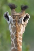 "Close-up of a Masai giraffe, Lake Manyara, Arusha Region, Tanzania (Giraffa camelopardalis tippelskirchi) by Panoramic Images - 16"" x 24"""
