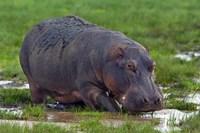 "Close-up of a hippopotamus, Lake Manyara, Arusha Region, Tanzania (Hippopotamus amphibius) by Panoramic Images - 16"" x 11"""