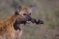 """Close-up of a hyena holding a wildebeest's leg, Ngorongoro Conservation Area, Arusha Region, Tanzania by Panoramic Images - 16"""" x 11"""", FulcrumGallery.com brand"""