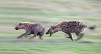 """Two hyenas running in a field, Ngorongoro Crater, Arusha Region, Tanzania by Panoramic Images - 16"""" x 9"""", FulcrumGallery.com brand"""
