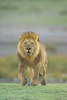 """Portrait of a Lion walking in a field, Ngorongoro Conservation Area, Arusha Region, Tanzania (Panthera leo) by Panoramic Images - 16"""" x 24"""""""