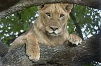 "Close-up of a lion, Lake Manyara, Arusha Region, Tanzania (Panthera leo) by Panoramic Images - 16"" x 10"", FulcrumGallery.com brand"
