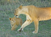 """Side profile of a lioness walking with its cub, Ngorongoro Conservation Area, Arusha Region, Tanzania (Panthera leo) by Panoramic Images - 24"""" x 18"""""""