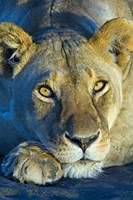 """Close-up of a lioness, Ngorongoro Conservation Area, Arusha Region, Tanzania (Panthera leo) by Panoramic Images - 16"""" x 24"""""""