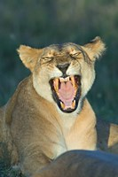"""Close-up of a lioness roaring, Ngorongoro Conservation Area, Arusha Region, Tanzania (Panthera leo) by Panoramic Images - 16"""" x 24"""""""