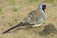 "Close-up of a Namaqua dove, Tarangire National Park, Arusha Region, Tanzania (Oena capensis) by Panoramic Images - 16"" x 11"", FulcrumGallery.com brand"