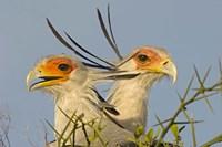 "Close-up of two Secretary birds, Ngorongoro Conservation Area, Arusha Region, Tanzania (Sagittarius serpentarius) by Panoramic Images - 16"" x 11"""