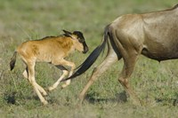 """Side profile of a wildebeest and its calf running in a field, Ngorongoro Conservation Area, Arusha Region, Tanzania by Panoramic Images - 16"""" x 11"""""""