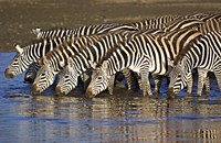 "Herd of zebras drinking water, Ngorongoro Conservation Area, Arusha Region, Tanzania (Equus burchelli chapmani) by Panoramic Images - 16"" x 10"""