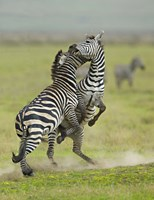 """Two zebras fighting in a field, Ngorongoro Conservation Area, Arusha Region, Tanzania (Equus burchelli chapmani) by Panoramic Images - 18"""" x 24"""""""