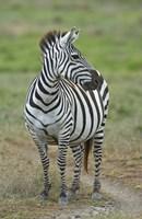 "Zebra standing in a field, Ngorongoro Conservation Area, Arusha Region, Tanzania (Equus burchelli chapmani) by Panoramic Images - 16"" x 24"""