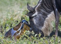 """Wildebeest with its newborn calf lying on a field, Ngorongoro Conservation Area, Arusha Region, Tanzania by Panoramic Images - 16"""" x 12"""" - $24.49"""