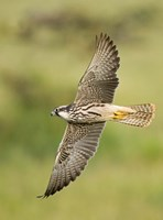 """Close-up of a Lanner falcon flying, Lake Manyara, Arusha Region, Tanzania (Falco biarmicus) by Panoramic Images - 18"""" x 24"""""""