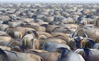 """Herd of wildebeests in a field, Ngorongoro Conservation Area, Arusha Region, Tanzania by Panoramic Images - 16"""" x 10"""""""