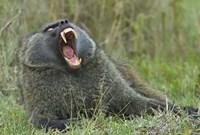 """Close-up of an Olive baboon yawning, Lake Nakuru, Kenya (Papio anubis) by Panoramic Images - 16"""" x 11"""""""