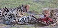 Portrait of two cheetahs eating a zebra, Ngorongoro Conservation Area, Arusha Region, Tanzania (Acinonyx jubatus) Fine Art Print