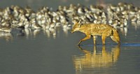 """Side profile of a Golden jackal wading in water, Ngorongoro Conservation Area, Arusha Region, Tanzania (Canis aureus) by Panoramic Images - 16"""" x 8"""""""